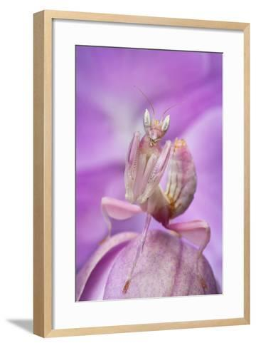 Malaysian Orchid Mantis (Hymenopus Coronatus) Pink Colour Morph, Camouflaged On An Orchid-Alex Hyde-Framed Art Print