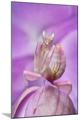 Malaysian Orchid Mantis (Hymenopus Coronatus) Pink Colour Morph, Camouflaged On An Orchid-Alex Hyde-Mounted Photographic Print