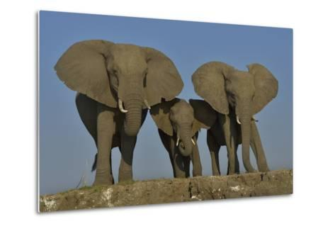 African Elephants (Loxodonta Africana) Cow With Her Two Calves, Chobe River, Botswana-Lou Coetzer-Metal Print