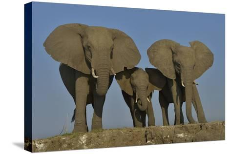 African Elephants (Loxodonta Africana) Cow With Her Two Calves, Chobe River, Botswana-Lou Coetzer-Stretched Canvas Print