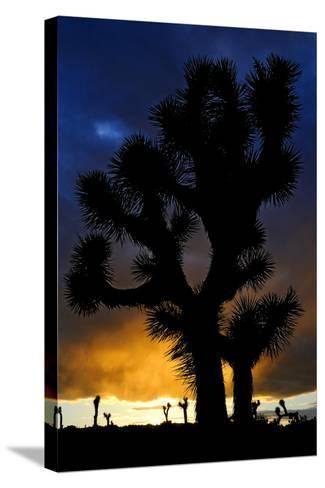 Silhouettte Of Joshua Tree (Yucca Brevifolia) At Sunset, Joshua Tree National Park, Mojave Desert-Jouan Rius-Stretched Canvas Print