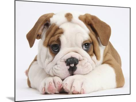 Bulldog Puppy With Chin On Paws, Against White Background-Mark Taylor-Mounted Photographic Print