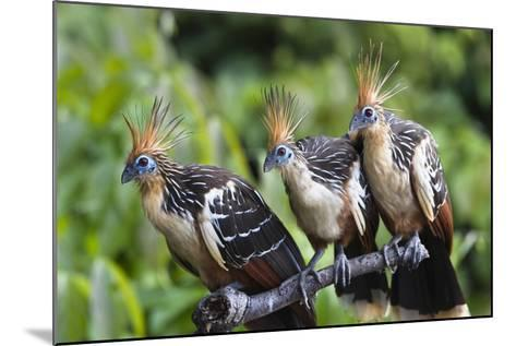 Hoatzins (Opisthocomus Hoazin) Perched In Tropical Rainforest, Tambopata Reserve, Peru-Konrad Wothe-Mounted Photographic Print