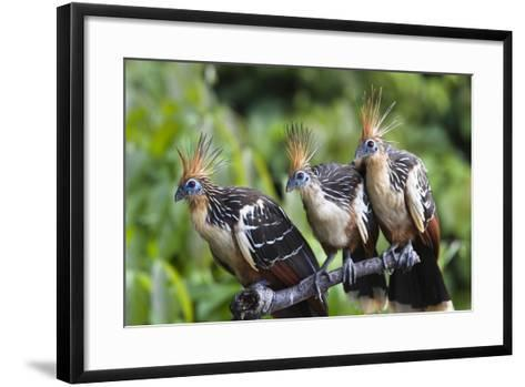 Hoatzins (Opisthocomus Hoazin) Perched In Tropical Rainforest, Tambopata Reserve, Peru-Konrad Wothe-Framed Art Print