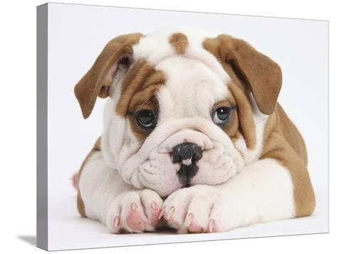Bulldog Puppy With Chin On Paws, Against White Background-Mark Taylor-Stretched Canvas Print