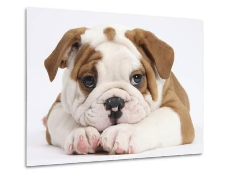 Bulldog Puppy With Chin On Paws, Against White Background-Mark Taylor-Metal Print