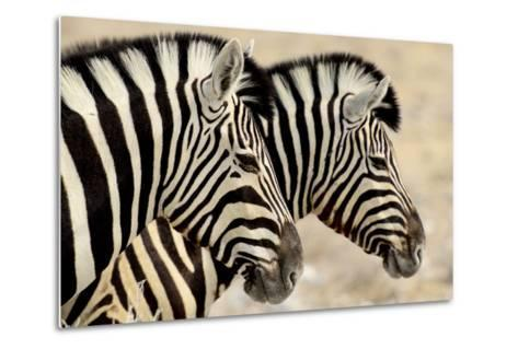 Burchell'S Zebras (Equus Quagga Burchellii) Standing Side By Side. Etosha Np, Namibia-Enrique Lopez-Tapia-Metal Print