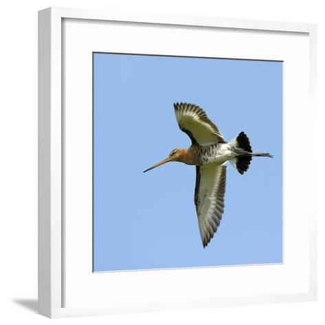 Male Black-Tailed Godwit (Limosa Limosa) In Flight, Marais Breton, Brittany - Bretagne-Loic Poidevin-Framed Art Print