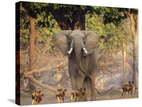 African Wild Dogs (Lycaon Pictus) Passinginfront Of Large African Elephant (Loxodonta Africana)-Tony Heald-Stretched Canvas Print