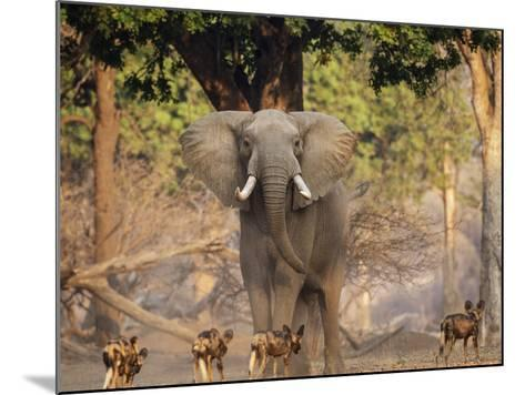African Wild Dogs (Lycaon Pictus) Passinginfront Of Large African Elephant (Loxodonta Africana)-Tony Heald-Mounted Photographic Print