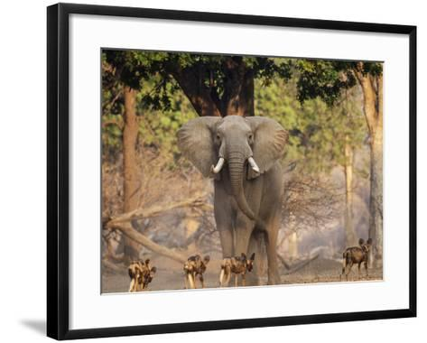 African Wild Dogs (Lycaon Pictus) Passinginfront Of Large African Elephant (Loxodonta Africana)-Tony Heald-Framed Art Print