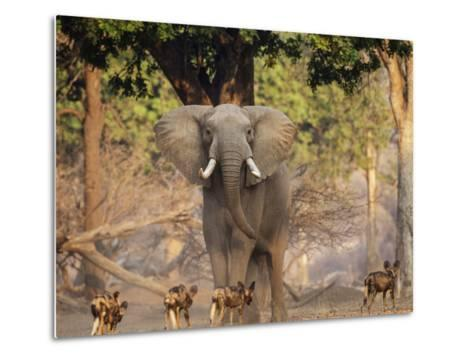 African Wild Dogs (Lycaon Pictus) Passinginfront Of Large African Elephant (Loxodonta Africana)-Tony Heald-Metal Print