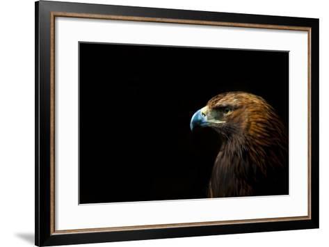 Golden Eagle (Aquila Chrysaetos) Portrait, Captive, Occurs In The Northern Hemisphere-Edwin Giesbers-Framed Art Print