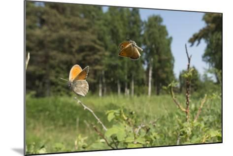 Small Heath (Coenonympha Pamphilus) Two Males Fighting In Habitat, Aland Islands, Finland, June-Jussi Murtosaari-Mounted Photographic Print