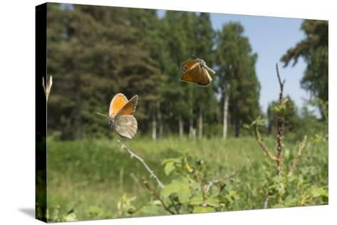 Small Heath (Coenonympha Pamphilus) Two Males Fighting In Habitat, Aland Islands, Finland, June-Jussi Murtosaari-Stretched Canvas Print