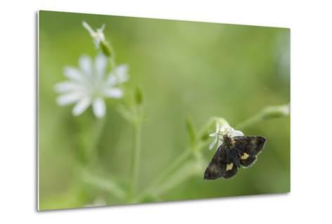 Small Yellow Underwing Moth (Panemeria Tenebrata) On Stitchwort (Stellaria) South Karelia-Jussi Murtosaari-Metal Print