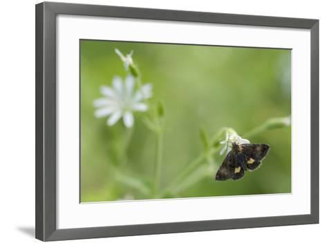 Small Yellow Underwing Moth (Panemeria Tenebrata) On Stitchwort (Stellaria) South Karelia-Jussi Murtosaari-Framed Art Print
