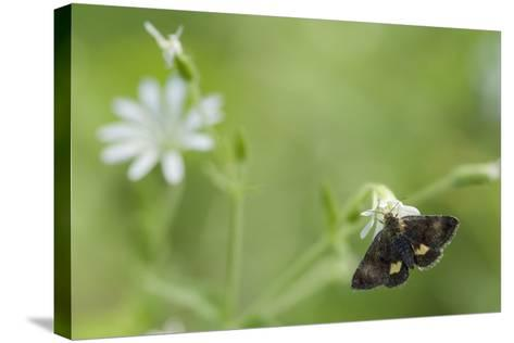 Small Yellow Underwing Moth (Panemeria Tenebrata) On Stitchwort (Stellaria) South Karelia-Jussi Murtosaari-Stretched Canvas Print