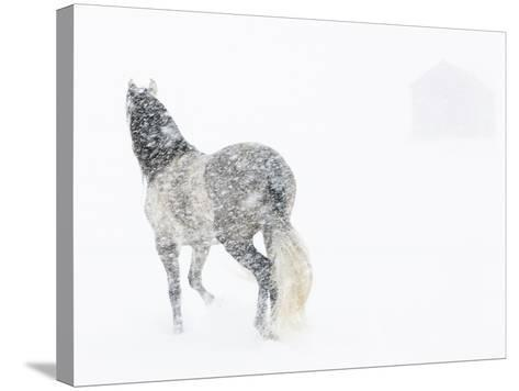 Horse In Snow Storm With Shed In Background, USA-Carol Walker-Stretched Canvas Print
