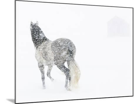 Horse In Snow Storm With Shed In Background, USA-Carol Walker-Mounted Photographic Print
