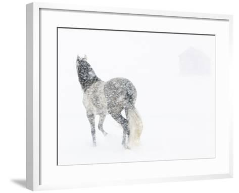 Horse In Snow Storm With Shed In Background, USA-Carol Walker-Framed Art Print