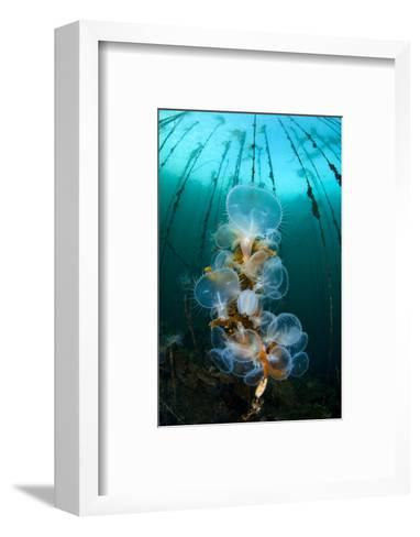 Hooded Nudibranchs (Melibe Leonina) Filter Feeding Beneath Bull Kelp-Alex Mustard-Framed Art Print