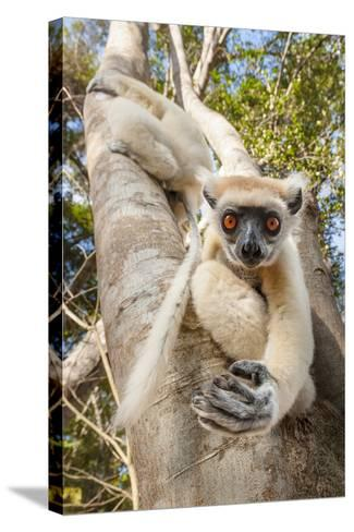 Golden-Crowned Sifaka Or Tattersall'S Sifaka (Propithecus Tattersalli) Climbing Down Tree-Nick Garbutt-Stretched Canvas Print