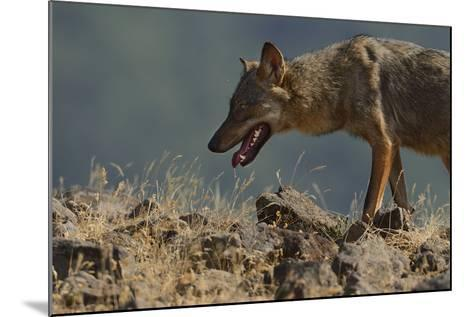 Eurasian Grey Wolf (Canis Lupus Lupus) At A Vulture Watching Site In The Madzharovo Valley-Widstrand-Mounted Photographic Print