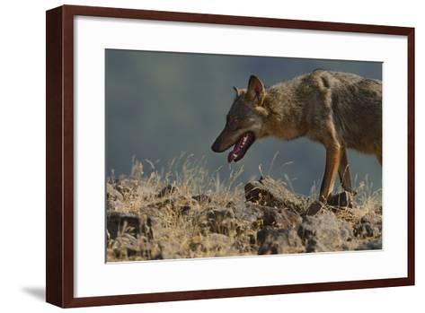 Eurasian Grey Wolf (Canis Lupus Lupus) At A Vulture Watching Site In The Madzharovo Valley-Widstrand-Framed Art Print