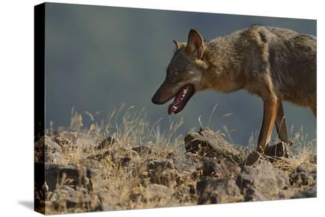 Eurasian Grey Wolf (Canis Lupus Lupus) At A Vulture Watching Site In The Madzharovo Valley-Widstrand-Stretched Canvas Print