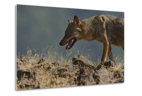 Eurasian Grey Wolf (Canis Lupus Lupus) At A Vulture Watching Site In The Madzharovo Valley-Widstrand-Metal Print