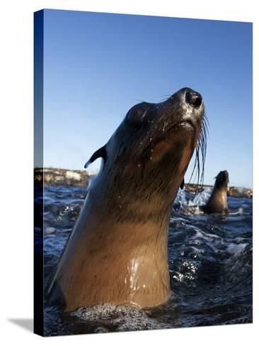 Cape Fur Seal (Arctocephalus Pussilus) Portrait, At Water Surface, Seal Island-Chris & Monique Fallows-Stretched Canvas Print