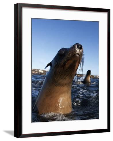 Cape Fur Seal (Arctocephalus Pussilus) Portrait, At Water Surface, Seal Island-Chris & Monique Fallows-Framed Art Print