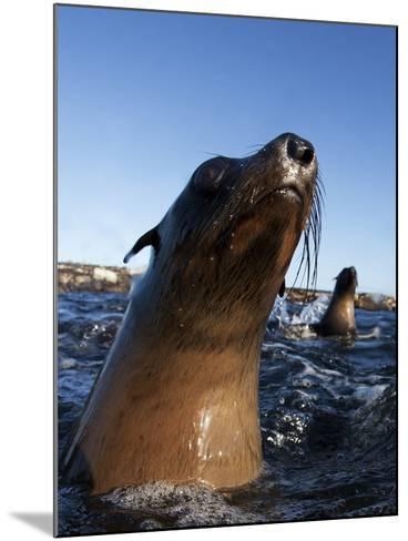 Cape Fur Seal (Arctocephalus Pussilus) Portrait, At Water Surface, Seal Island-Chris & Monique Fallows-Mounted Photographic Print