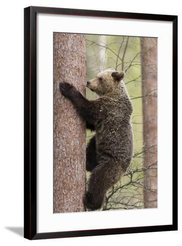 European Brown Bear (Ursus Arctos Arctos) Adult Climbing, Northern Finland, May-Jussi Murtosaari-Framed Art Print