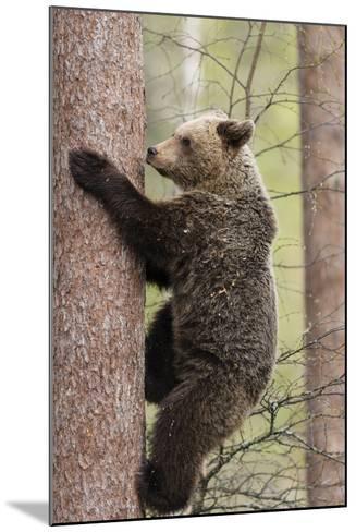 European Brown Bear (Ursus Arctos Arctos) Adult Climbing, Northern Finland, May-Jussi Murtosaari-Mounted Photographic Print