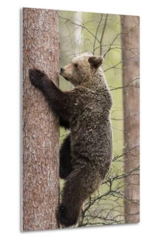European Brown Bear (Ursus Arctos Arctos) Adult Climbing, Northern Finland, May-Jussi Murtosaari-Metal Print
