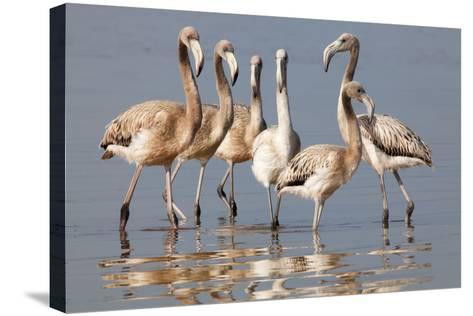 American Flamingo (Phoenicopterus Ruber) Juveniles-Claudio Contreras-Stretched Canvas Print
