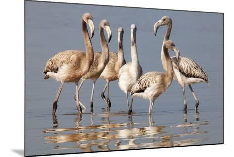 American Flamingo (Phoenicopterus Ruber) Juveniles-Claudio Contreras-Mounted Photographic Print