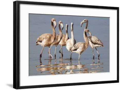 American Flamingo (Phoenicopterus Ruber) Juveniles-Claudio Contreras-Framed Art Print