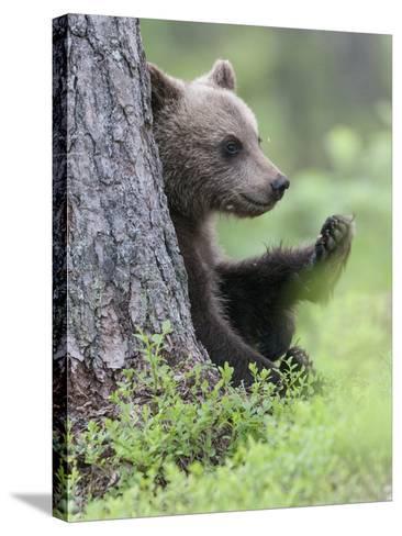 European Brown Bear (Ursus Arctos Arctos) Young Cub, Northern Finland, July-Jussi Murtosaari-Stretched Canvas Print