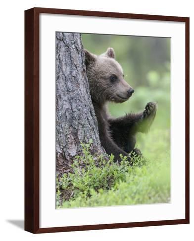 European Brown Bear (Ursus Arctos Arctos) Young Cub, Northern Finland, July-Jussi Murtosaari-Framed Art Print