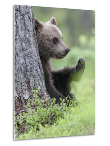 European Brown Bear (Ursus Arctos Arctos) Young Cub, Northern Finland, July-Jussi Murtosaari-Metal Print