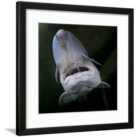 European Sturgeon (Huso Husocaptive) At Danube Delta Eco-Tourism Museum Centre Aquarium In Tulcea-Lundgren-Framed Art Print