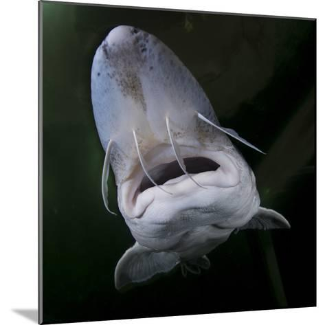 European Sturgeon (Huso Husocaptive) At Danube Delta Eco-Tourism Museum Centre Aquarium In Tulcea-Lundgren-Mounted Photographic Print