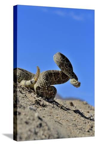Mojave Rattlesnake (Crotalus Scutulatus) Mojave Desert, California, June-Daniel Heuclin-Stretched Canvas Print