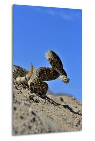 Mojave Rattlesnake (Crotalus Scutulatus) Mojave Desert, California, June-Daniel Heuclin-Metal Print
