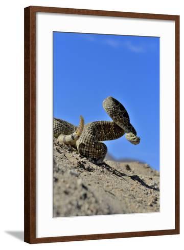 Mojave Rattlesnake (Crotalus Scutulatus) Mojave Desert, California, June-Daniel Heuclin-Framed Art Print