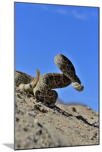 Mojave Rattlesnake (Crotalus Scutulatus) Mojave Desert, California, June-Daniel Heuclin-Mounted Photographic Print