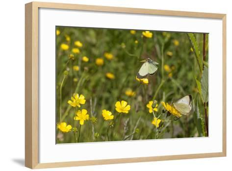 Moorland Clouded Yellow Butterfly (Colias Palaeno) Male And Female-Jussi Murtosaari-Framed Art Print
